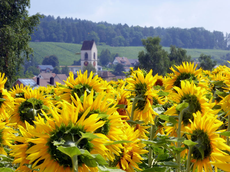 160715_SonnenblumenRuediMor